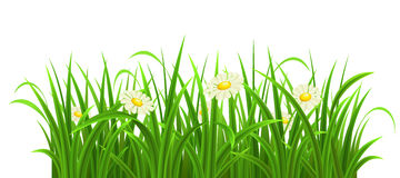 Vector green grass. Green grass with daisies on white, vector illustration Royalty Free Stock Photos