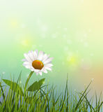 Vector green grass and white Gerbera- Daisy flowers. Vector illustration green grass and white flower. Spring nature field with Gerbera- Daisy flower at meadow Royalty Free Stock Photos
