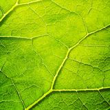 Vector green leaf macro background. EPS 10 Royalty Free Stock Images