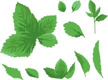 Vector green leaves individual elements. Vector illustration of several green leaves of different size on white background, elements, details, parts Royalty Free Stock Photos