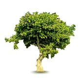 Vector green tree Royalty Free Stock Images