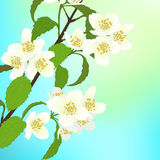 Vector greeting card with cherry blossom. Royalty Free Stock Images