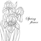 Vector greeting card with outline bouquet Iris flower, bud and leaves in black isolated on white. Floral element for spring design Stock Photo