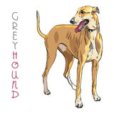 Vector Greyhound Dog breed Royalty Free Stock Photos