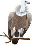Vector Griffon vulture Stock Photography