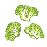 Vector hand draw illustration of broccoli. On white background Royalty Free Stock Photography