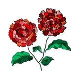 Vector Hand drawing chrysanthemum flower Royalty Free Stock Image