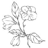 Vector hand drawing magnolia flower Royalty Free Stock Image