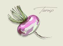 Vector hand drawing realistic juicy turnip Stock Photo