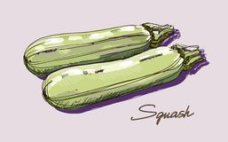 Vector hand drawing realistic juicy  zucchini Stock Images
