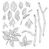Vector hand drawn black and white floral set of ash tree Royalty Free Stock Image
