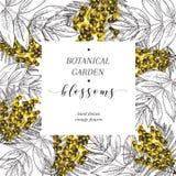 Vector hand drawn blossoms poster. Engraved botanical art. Vintage illustration. Mimosa or acacia, spring and summer blossoms. Royalty Free Stock Image