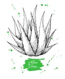 Vector hand drawn botanical Aloe Vera. Engraved illustration.  royalty free illustration