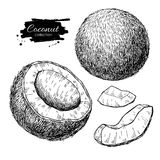 Vector hand drawn coconut set. Tropical summer fruit engraved st. Yle illustrations. Detailed food drawing. Great for label, poster, print vector illustration