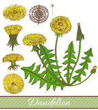 Vector hand drawn colored dandelion illustration Royalty Free Stock Image