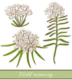 Vector hand drawn colored illustration of wild rosemary Royalty Free Stock Images