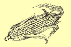 Vector hand drawn corn cob illustration. Stock Photos