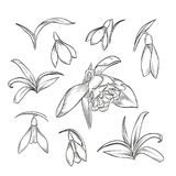 Vector hand drawn elegant snowdrop. Flowers and leaves Stock Photos