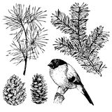 VEctor hand drawn fir, pine branch, pinecone, bullfinch. Vintage engraved botanical illustration. Christmas decoration. Royalty Free Stock Photo
