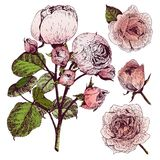 Vector hand drawn illustration of English roses. Vintage engraved style. Botanical art  on white background. Royalty Free Stock Images