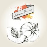 Vector hand drawn illustration of pumpkin slices. Engraved autumn vegetable isolated on vintage background. Stock Images