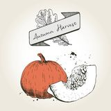 Vector hand drawn illustration of pumpkin slices. Engraved colored autumn vegetable isolated on vintage background. Stock Photography