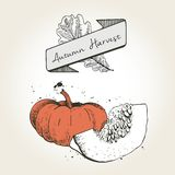 Vector hand drawn illustration of pumpkin slices. Engraved colored autumn vegetable isolated on vintage background. Royalty Free Stock Photo