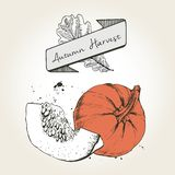 Vector hand drawn illustration of pumpkin slices. Engraved colored autumn vegetable isolated on vintage background. Royalty Free Stock Photos