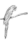 Vector hand drawn illustration of tropical ara parrot. Isolated monochrome parrot bird. Stock Image
