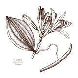 Vector hand drawn illustration of Vanilla on white background. Aromatic and medicinal plant sketch. Perfumery and cosmetics ingre. Dients royalty free illustration