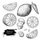 Vector hand drawn lime or lemon set. vector illustration