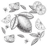 Vector hand drawn lime or lemon set. Whole , sliced pieces half, leave sketch. Fruit engraved style illustration. Retro Stock Photography