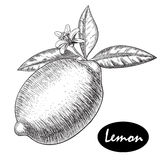 Vector hand drawn lime or lemon. Whole , sliced pieces half, leave sketch. Fruit engraved style illustration. Detailed Royalty Free Stock Images