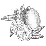 Vector hand drawn lime or lemon. Whole , sliced pieces half, leave sketch. Fruit engraved style illustration. Detailed Stock Images