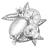 Vector hand drawn lime or lemon. Whole , sliced pieces half, leave sketch. Fruit engraved style illustration. Detailed Stock Photo
