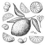 Vector hand drawn lime set. Whole lime, sliced pieces, half. Leafe and seed sketch. Tropical summer fruit engraved style illustration. Detailed citrus drawing stock illustration