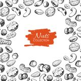 Vector hand drawn nuts illustration. Engraved. Royalty Free Stock Images
