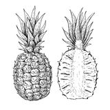 Vector hand drawn pineapple and sliced pieces set. Tropical summer fruit engraved style illustration. Detailed food drawing. Great for label, poster, print vector illustration