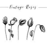 Vector hand drawn romantic roses Stock Image