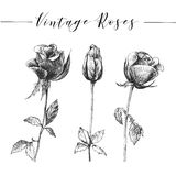 Vector hand drawn romantic roses Stock Photography