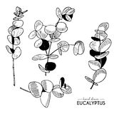 Vector hand drawn set of eucalyptus branches. Vintage engraved style art. Botanical illustration. Stock Photography