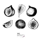 Vector hand drawn set of exotic fruits. Ioslated fig. Engraved art. Delicicous tropical vegetarian objects. Royalty Free Stock Image