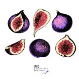Vector hand drawn set of exotic fruits. Ioslated fig. Engraved colored art. Delicicous tropical vegetarian objects. Stock Photos