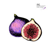 Vector hand drawn set of exotic fruits. Ioslated fig. Engraved colored art. Delicicous tropical vegetarian objects. Stock Images