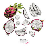 Vector hand drawn set of exotic fruits. Isolated pitaya. Engraved colored art. Delicious tropical vegetarian objects. Royalty Free Stock Image