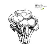 Vector hand drawn set of farm vegetables. Isolated broccoli cabbage. Engraved art. Organic sketched vegetarian objects. Royalty Free Stock Images