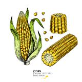 Vector hand drawn set of farm vegetables. Isolated corn cob. Engraved colored art. Organic sketched vegetarian objects Stock Photos