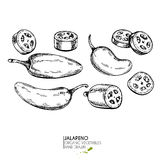 Vector hand drawn set of farm vegetables. Isolated hot chilli jalapeno pepper. Engraved art. Organic sketched vegetarian objects. Use for restaurant, menu royalty free illustration