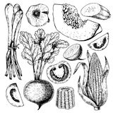 Vector hand drawn set of farm vegetables. Isolated srouting onion, beetroot, tomato, corn, pumpkin, garlic. Engraved art. Organic sketched objects. restaurant Royalty Free Stock Images