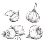 Vector hand drawn set of garlic. Stock Photography